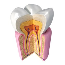 A 3D cross-section of a tooth.